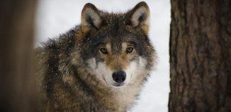 WWF biodiversità lupo